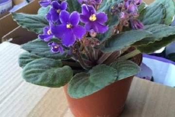 紫罗兰盆景在秋季发芽播种繁殖的方法
