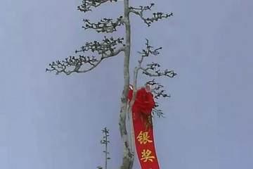 第二届中国海南盆景展银奖