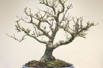 如何给日本枫树选盆景择合适的盆子?