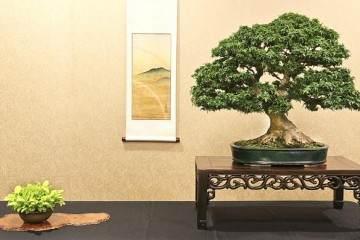 江东姬日本枫树盆景起源于日本的埼玉县