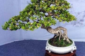 瓜子黄杨盆景怎么萌芽养护方法 图片