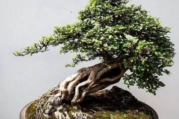 树桩盆景的叶片怎么控制发芽的方法