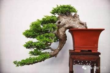 榆树盆景造型要注意什么?
