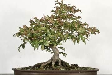 日本枫树传播和盆景训练技术大师