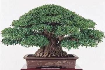 榕树盆景翻盆的时间选择和根须处理