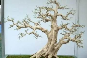树桩盆景按照标准设计 值过上万