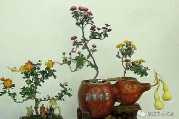 菊花盆景造型过程有一些注意事项