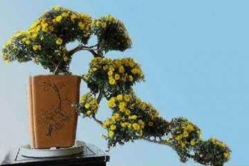 菊花盆景的修剪过程注意事项分享