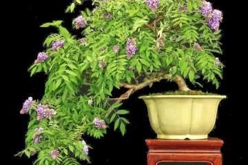 中国和日本的物种主要在美国种植盆景