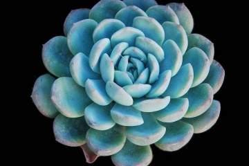 拟石莲花属多肉植物的上盆和换盆
