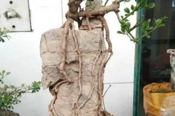 石头配树桩盆景的最好方法