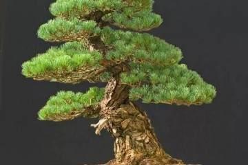 树桩断枝补救之法 玩盆景必备之技术