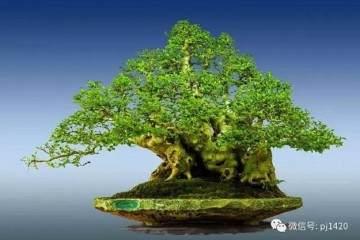 晋江盆景艺术家 - 陈文图 30年的艺术之作