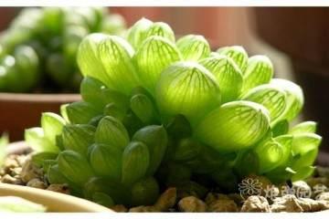 将采集的姬玉露多肉的带有多个花蕾的花葶