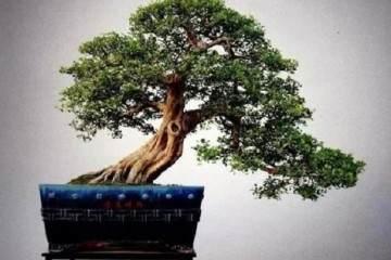 养护九里香盆景应注意以下几点