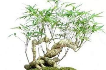 将竹子做成竹盆景 便多一分雅趣!
