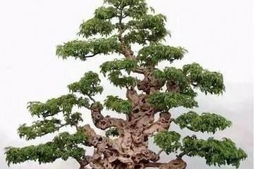 想要树桩盆景露根 很简单 只要将根部提一提
