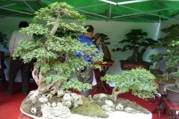 树桩盆景用什么土壤移栽最好