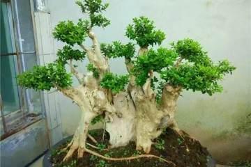 黄杨下山桩制作盆景老桩的方法 图片