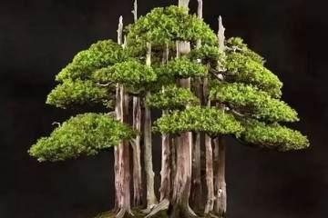 图解老外用63年时间 制作一棵柏树盆景
