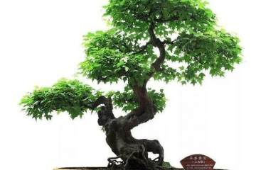 盆景造型过程中的枝条被损坏如何救治?
