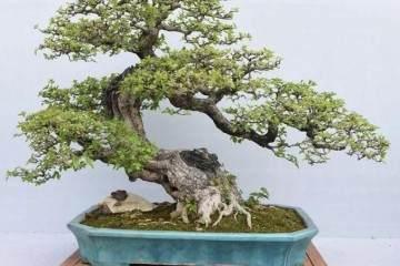 盆景是日本人在小容器中种植微型树木的做法
