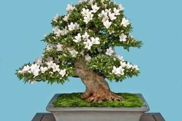 日本小月盆景协会 现在每年都会举办国府盆景展