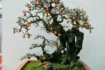 学会老鸦柿盆景的养护方法与造型技术