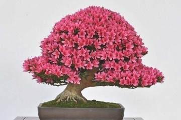 你喜欢小月杜鹃花盆景吗?