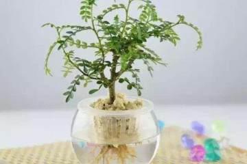 微型榕树盆景怎么用生根粉来无土栽培