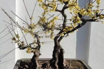 腊梅盆景发芽的播种繁殖要多久 图片