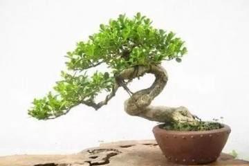 黄杨老桩盆景在春季萌芽前进行上盆的方法