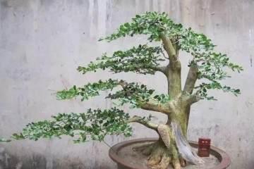 怎么选好生根的小黄杨盆景苗最好发芽