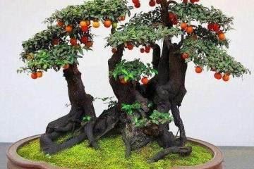 如果金弹子盆景只开花不结果 那金弹子树可能是公的
