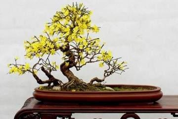 制作迎春花盆景怎么移栽上盆的方法