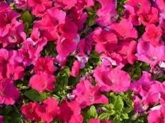 6月天气逐步转热 上海盆花市场开始进入淡季