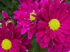 8月的北京盆花市场销售走低 形势不佳