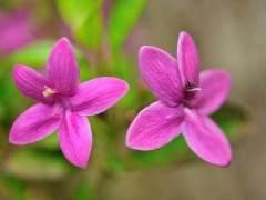 漳州扦插紫花三角梅的价格180元/盆