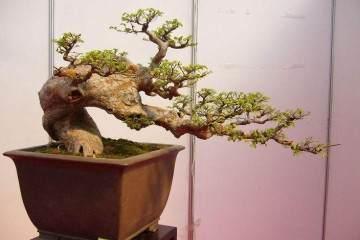 老榆树盆景树桩 一株双杆 典型的观干盆景