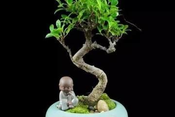 为什么有的榕树盆景叶子特别小?