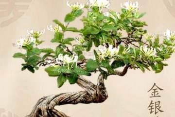 金银花盆景发芽养护需要注意什么方法