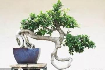 在室内养护榕树盆景需要注意一些的3个问题