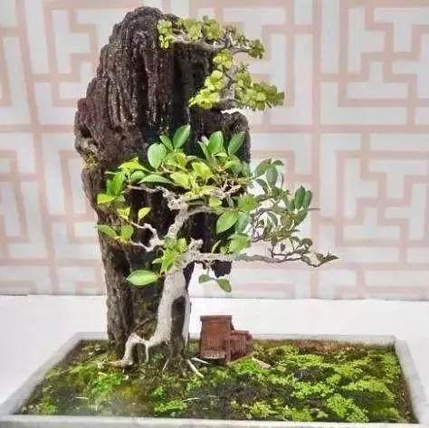怎么制作榕树附石盆景?