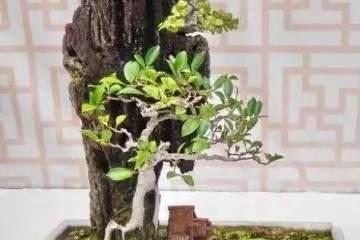 怎么制作榕树附石盆景?把握这4个注意事项
