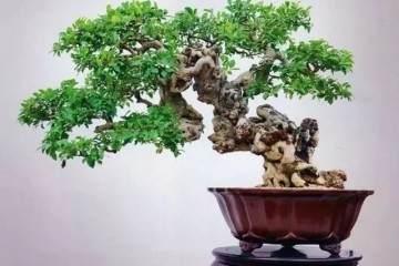 榕树盆景现在长出小树叶子 需要施肥吗?