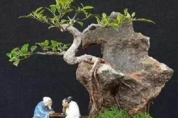 如何给附石榕树盆景修剪枝叶