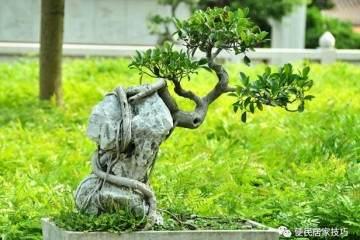 家中养榕树盆景的施肥与浇水注意事项