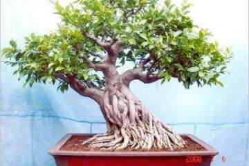 附石榕树盆景修剪造型在什么时候最好?