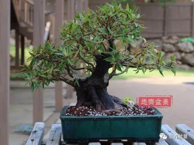 矮霸榕树盆景
