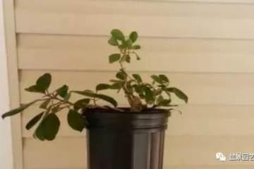 图解 榕树扦插多久生根 怎么扦插的方法
